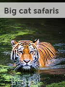 Big cat safaris