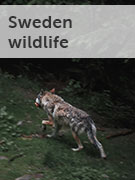 Sweden wildlife