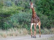 Giraffe, KwaZulu-Natal. Photo by Richard Madden