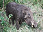 Warthog, KwaZulu-Natal. Photo By Richard Madden