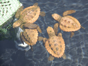 Young Loggerhead turtles bred on Fuerteventura. Photo by Nick Haslam