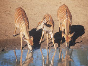 Gazelles drinking, KwaZulu-Natal. Photo By Richard Madden