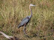 Heron, KwaZulu-Natal. Photo By Richard Madden