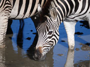 Zebra drinking, KwaZulu-Natal. Photo By Richard Madden