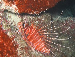 Lionfish, KwaZulu-Natal. Photo By Richard Madden