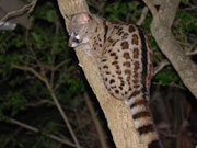 Large spotted Genet, KwaZulu-Natal. Photo By Richard Madden