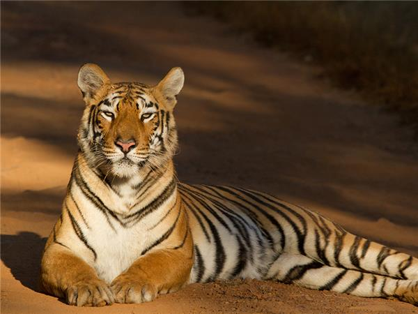 Tiger watching tours in India