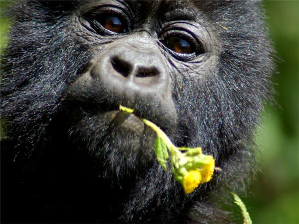 Gorilla safari and game parks, Uganda