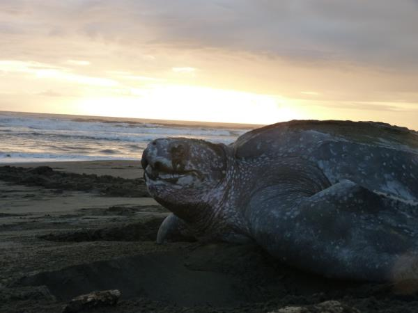 Volunteer with turtles in Costa Rica, Pacuare Nature Reserve