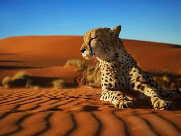 Namibia carnivore conservation & research project