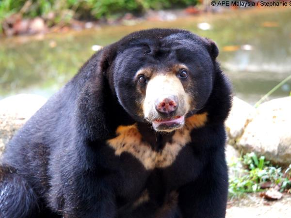 Volunteer with bears in Borneo