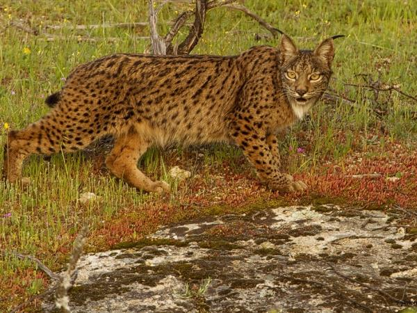 Iberian Lynx watching holiday in Spain