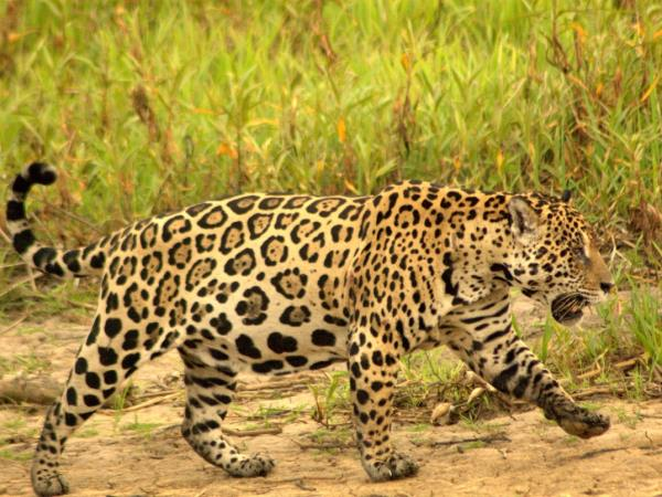 Jaguar watching safari of the Pantanal, Brazil
