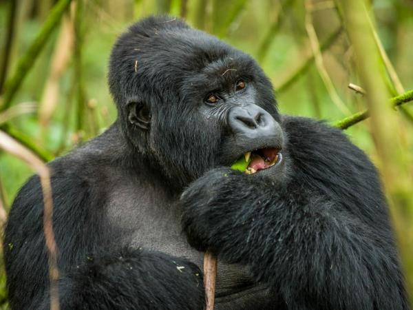 Gorilla tracking holiday in Rwanda
