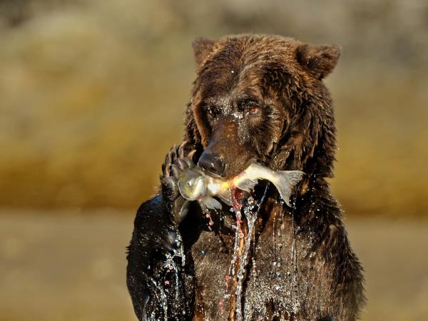 Kodiak bear tracking tour in Alaska