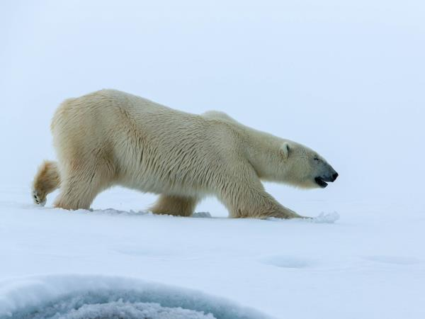 Polar bear watching cruise in Svalbard, Norway