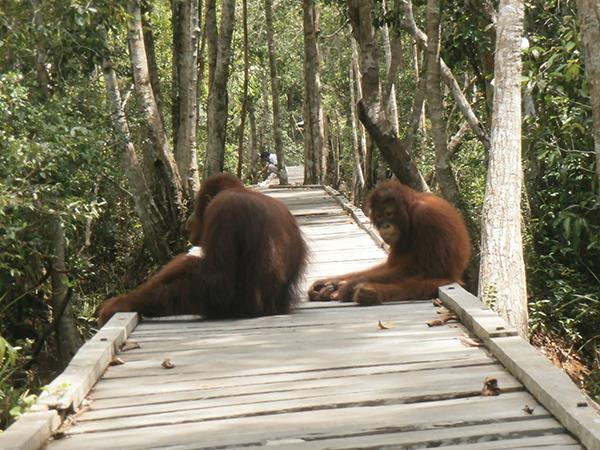 Camp Leakey and Tanjung Puting NP tour, 4 days