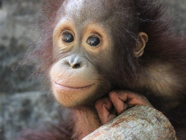 Volunteer at orangutan & wildlife rescue centre in Indonesia