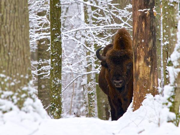Poland bison safari and wolf tracking holiday