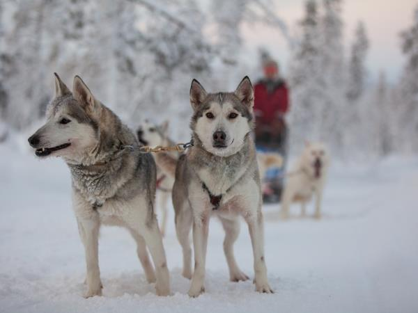 Dog Sled Husky Holidays Safaris Helping Dreamers Do