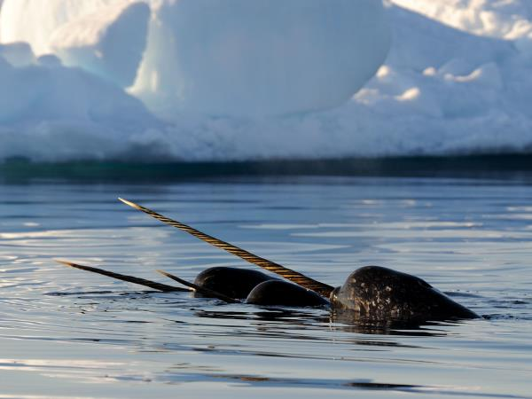 Canada Arctic wilderness safari, Polar bears & Narwhals