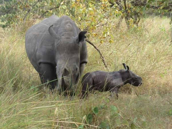 Rhino conservation volunteering in Uganda