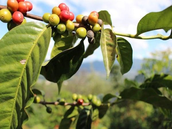 Coffee tour in Guatemala