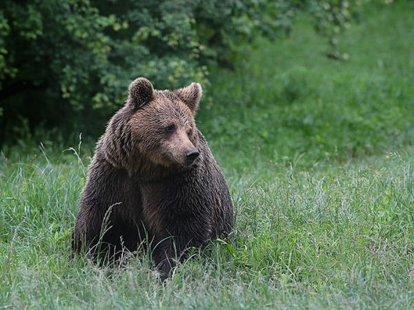Brown bear watching holiday in Bulgaria