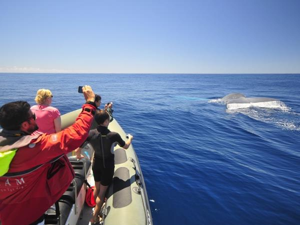 Blue whale watching in the Azores, Pico Island