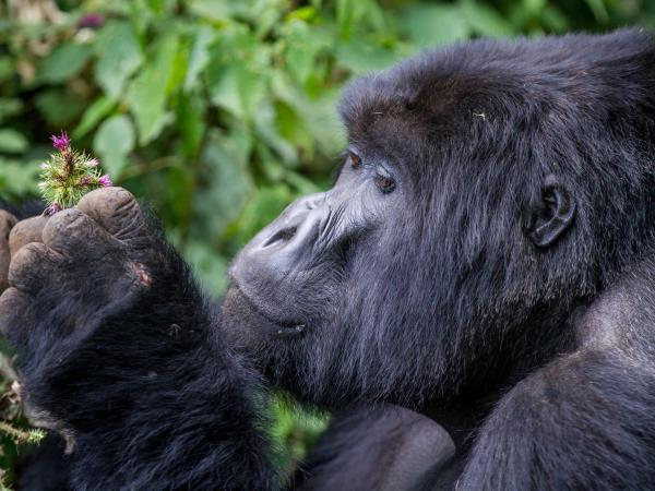 Gorillas and big game, Nairobi to Kigali tour