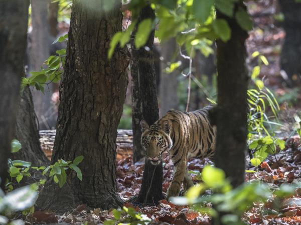 Bandhavgarh tiger safari in India
