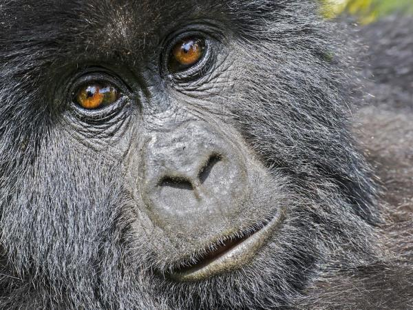 Mountain Gorilla photography holiday in Uganda