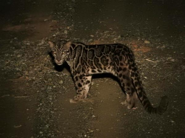 Clouded Leopards and rare mammals in Borneo tour