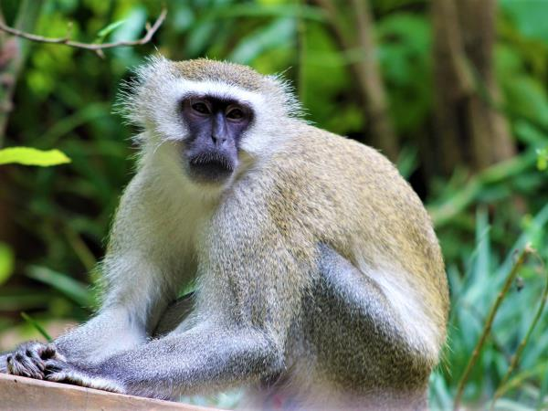 Primate internship at a sanctuary in Malawi