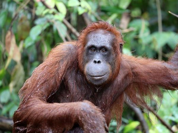 Orangutan sanctuary volunteering in Borneo
