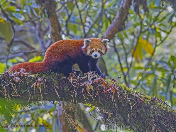 Red Panda and bird tour in India