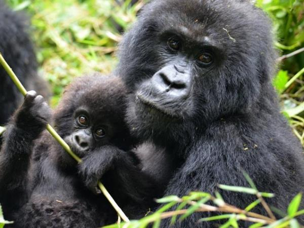 Wheelchair accessible gorilla tracking in Rwanda
