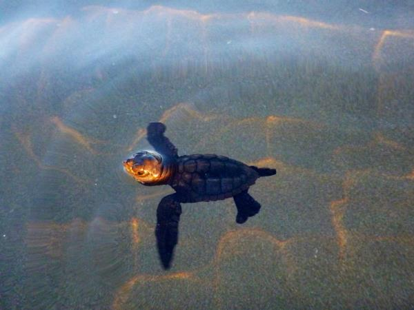 Volunteer with turtles in Costa Rica