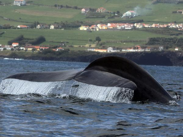 Blue whale watching holiday, migrating giants