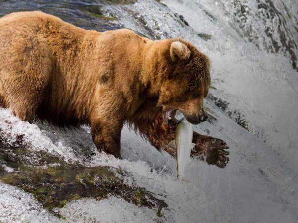 Alaska classic tour, glaciers and grizzly bears