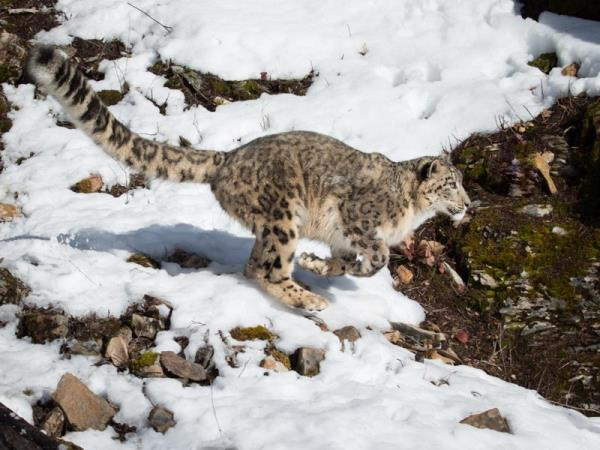 Snow Leopard tracking holiday, Central Asia