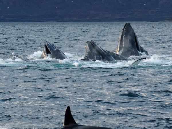 Whale watching and Northern Lights sailing cruise in Norway