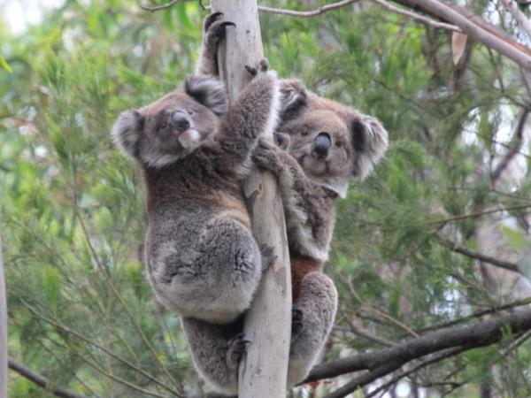 Plant trees for koalas in Australia