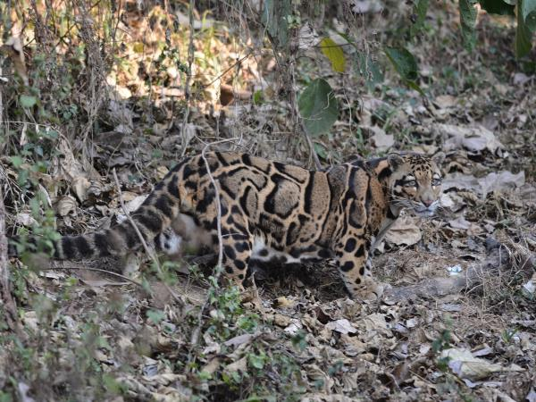 Nepal clouded leopard expedition