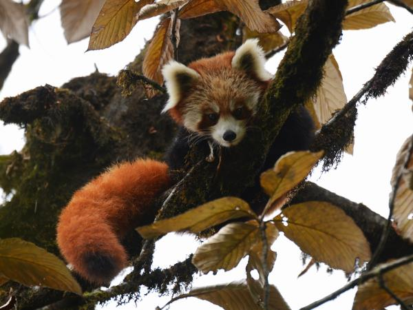 Rare mammals of Nepal wildlife safari