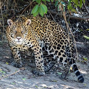 Jaguars in the Pantanal