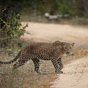 Leopard safaris in Sri Lanka