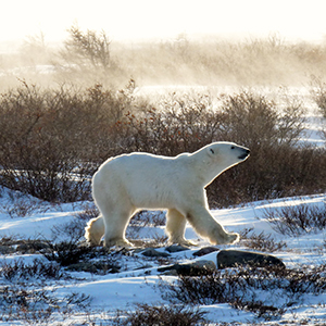 Polar bear watching in Churchill