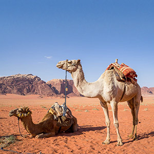 Camel safari tours in Jordan