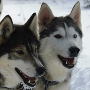 Husky safari holidays guide